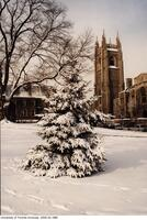 Tree laden with snow in front of Hart House